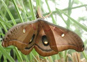 colorful-Polyphemus-moth
