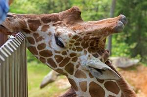 Feeding a giraffe by hand!
