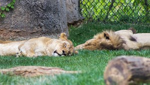 sleepy lions...