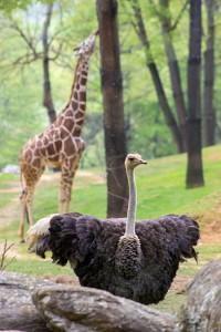 ostrich pic